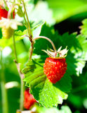 Wld strawberry Royalty Free Stock Photo