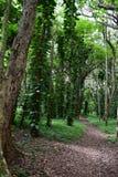 Wlec prążkowanego z winogrady zakrywającymi drzewami w Kauai Hawaje dżungli Obrazy Royalty Free