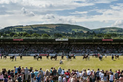 Welsh Cob Stallions at the Royal Welsh Show. Section D Stallion Show at the Royal Welsh, beautiful day with rolling welsh hills Royalty Free Stock Images
