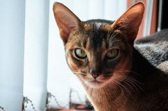 Wnikliwy spojrzenie Abisyński kot obraz royalty free