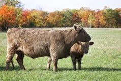 Wołowiny łydka i krowa Obrazy Royalty Free