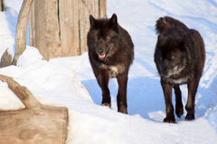 Two black canadian wolves on a morning walk. Animals in wildlife Stock Photos