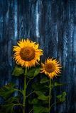 Wo bright sunflowers against a dark background royalty free stock photo