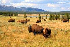 Wo der Büffel durchstreifen stockbilder