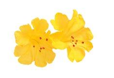 Еwo flowers mirabilis. Royalty Free Stock Image