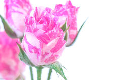 Wo-Tone Pink Roses. Two-Tone Pink Roses and water drops on white background Royalty Free Stock Photo