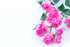 Wo-Tone Pink Roses. Two-Tone Pink Roses and water drops on white background Stock Image