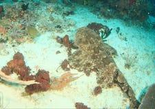 Wobbegong haj på sand Arkivbilder
