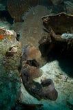 Wobbegong shark. A wobbegong shark carpets itself over the reef Royalty Free Stock Image