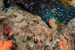 Wobbegong shark Royalty Free Stock Images