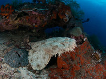 Wobbegong shark. Is found only at Raja ampat in indonesia Stock Photos