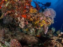 Free Wobbegong Shark Or Carpet Shark, Orectolobidae. Tropical Coral Background. Misool, Raja Ampat, Indonesia Stock Image - 179779631
