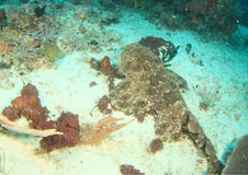Wobbegong shark on sand Stock Images