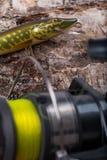 Wobbler y carrete del cebo de pesca con la línea en abedul Fotografía de archivo