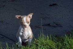 8-Wochen-alte männliche Chihuahuawelpenstellung auf dem Bürgersteig, der das Gras betrachtet stockfotos