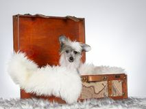 13 Wochen alter Chinese Crested-Hundewelpe stockfotografie