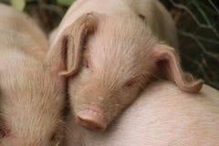 13-Wochen-altes Ferkel schlafend Stockfoto