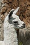 Wochen-altes Lama Lizenzfreie Stockfotografie