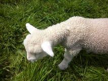 Wochen-altes Lamm, Neuseeland-Landschaft Stockfoto