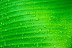 Wod krople na bananowych liściach Fotografia Stock