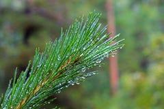 Wod krople na jedlinowym drzewie po deszczu Fotografia Royalty Free