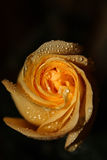 Wod krople na kolor żółty róży Obraz Royalty Free
