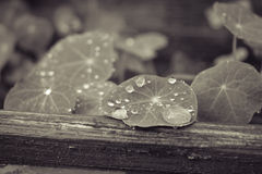 Wod krople na liściach rośliny Fotografia Royalty Free