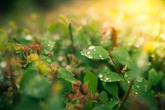 Wod krople na liściach obrazy stock