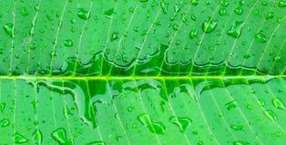 Wod krople na świeżym zielonym liściu, Zdjęcia Royalty Free