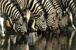 wod pitnych zebry Zdjęcie Stock