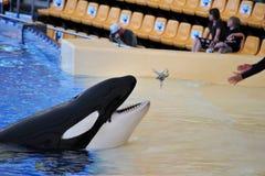 Wod przedstawienia z zabójców wielorybami obrazy royalty free