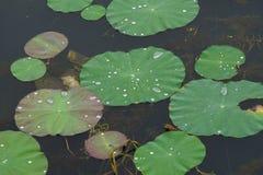 Woda dews na lotosowych liściach zdjęcie royalty free