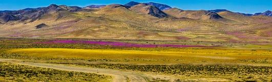 Woda komes sucha pustynia w świacie: Atacama kwitnienia kwiaty zdjęcie stock