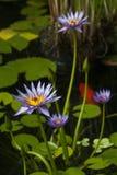 Woda kwiaty Obraz Stock