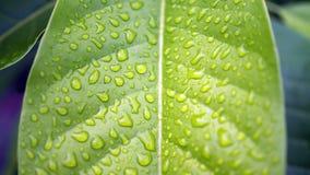 Woda, liść, krople, kropla, zieleń, rosa, tło, świeży, liście, mennica, natura, naturalna, świeżość, deszcz, zbliżenie odosobnion obrazy royalty free