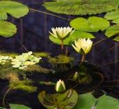 Woda lilly Fotografia Royalty Free