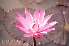 Woda lilly Zdjęcie Royalty Free