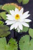 Woda lilly, Lotus Zdjęcie Stock