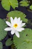 Woda lilly, Lotus Zdjęcia Royalty Free