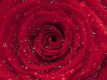 Woda na czerwieni róży kwiacie, zamyka up Obraz Royalty Free