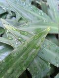 Woda na liściach Obrazy Royalty Free