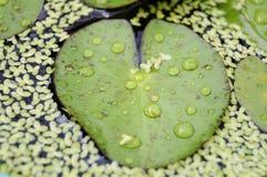 Woda na zielonym leluja liściu zdjęcia stock