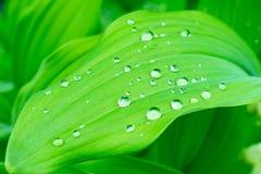Woda opuszcza na zielonych li?ciach po deszczu, zielonego ulistnienia naturalny organicznie ogrodowy t?o zdjęcia stock