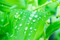 Woda opuszcza na zielonych li?ciach po deszczu, zielonego ulistnienia naturalny organicznie ogrodowy t?o obraz royalty free