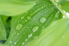 Woda opuszcza na zielonych li?ciach po deszczu, zielonego ulistnienia naturalny organicznie ogrodowy t?o fotografia stock