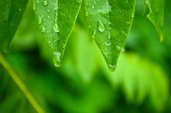Woda opuszcza obwieszenie od zielonych liści Zdjęcie Royalty Free
