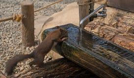 woda potrzebuje wodę Chipmunk pije Zdjęcia Stock