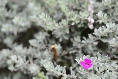 Woderful van de Roze Bloem van Barometerbush en Witte Bladeren stock fotografie