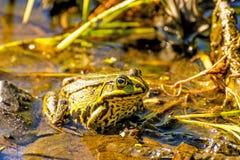Wodna żaba w cumującej rezerwie Fotografia Royalty Free