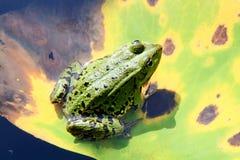 Wodna żaba Fotografia Royalty Free